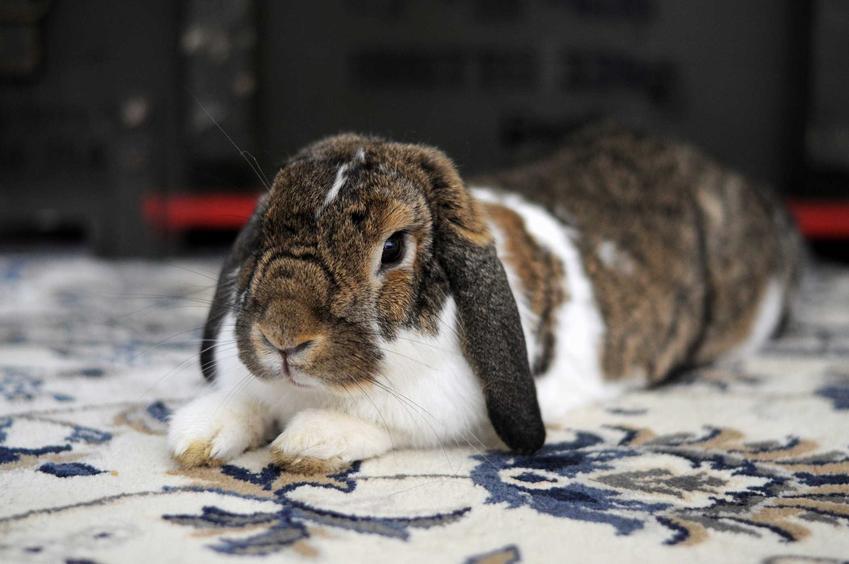 Królik miniaturka na dywanie, a także informacje, ile kosztuje królik miniaturka, ceny krok po kroku w hodowli i w sklepie zoologicznm