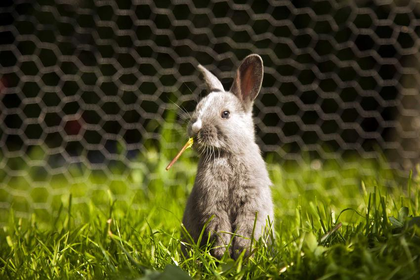 Królik miniaturka stojący na trawie, a także informacje, ile kosztuje królik miniaturka, ceny