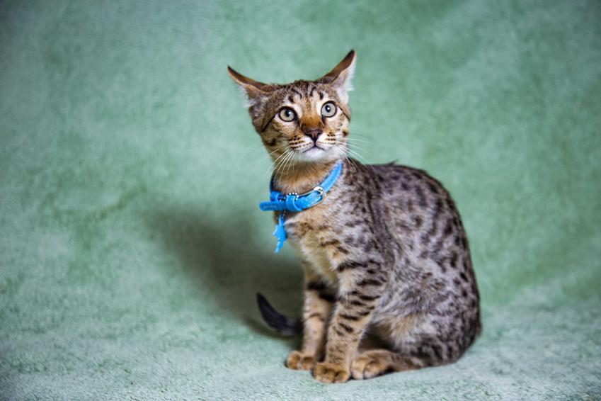 Kot Savannah z niebieską obróżką, a także ile kosztuje kot Savannah, cena za kocięta z hodowli