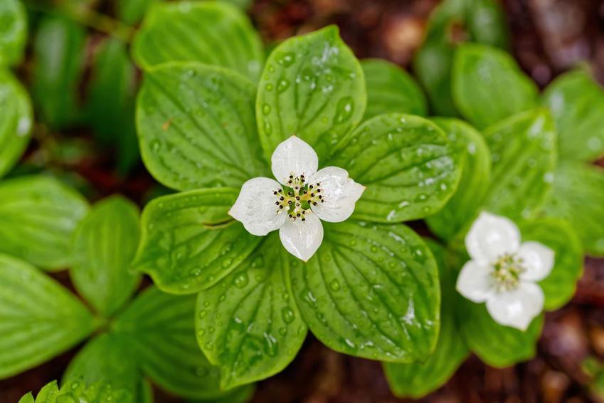 Dereń kanadyjski cornus canadensis i zbliżenie na jego kwiat, a także uprawa, sadzie i porady