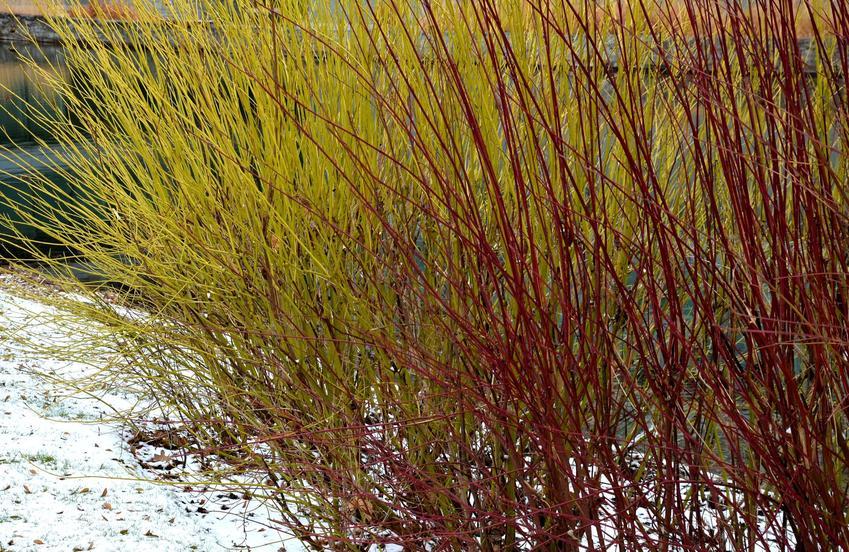 Dereń rozłogowy cornus sericea flaviramea w ogrodzie, a także zasady jego uprawy i sadzenia