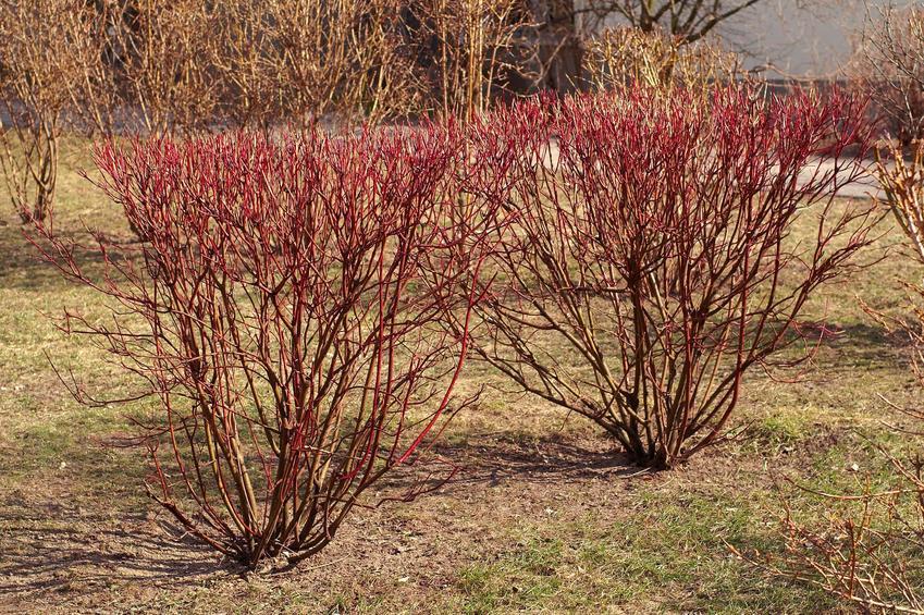 Dereń ozdobny czerwony bez liści w ogrodzie, a także zasady jego uprawy i sadzenia