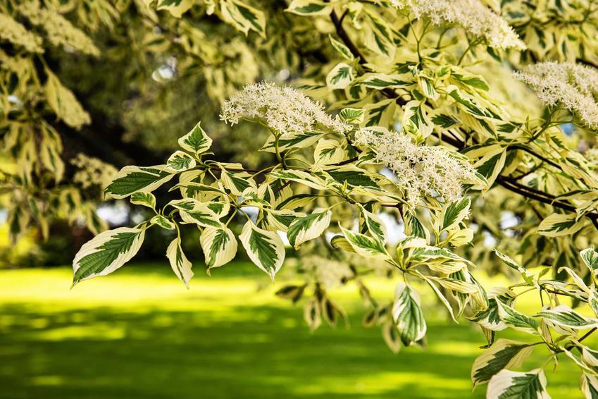 Dereń pagodowy variegata w czasie kwitnienia w ogrodzie, a także zasady jego uprawy i sadzenia