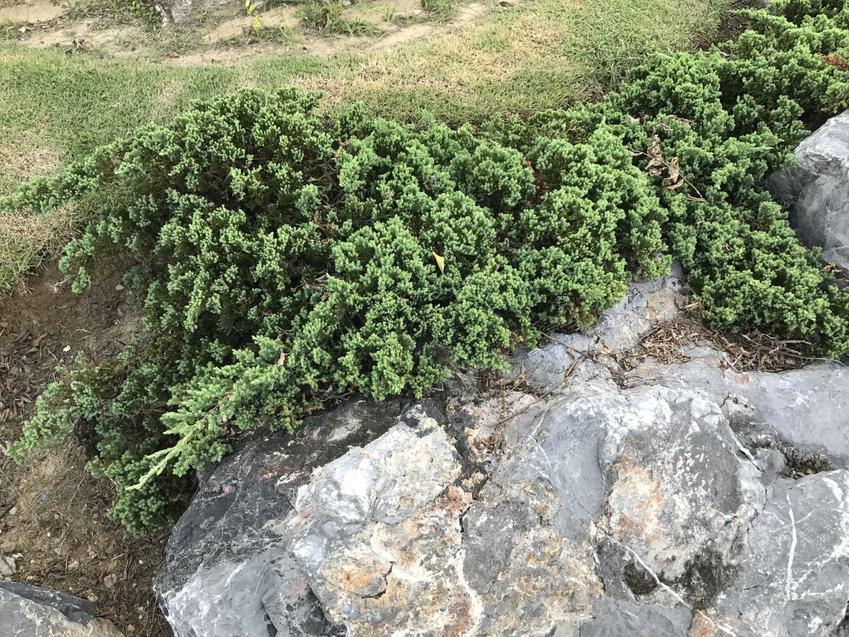 Jałowiec płożący w ogrodzie, a także zasady jego uprawy, pielęgnacji i porady ogrodnicze