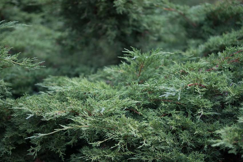 Jałowiec płożący i zbliżenie na jego igły, a także uprawa, pielęgnacja, sadzenie i porady ogrodnicze
