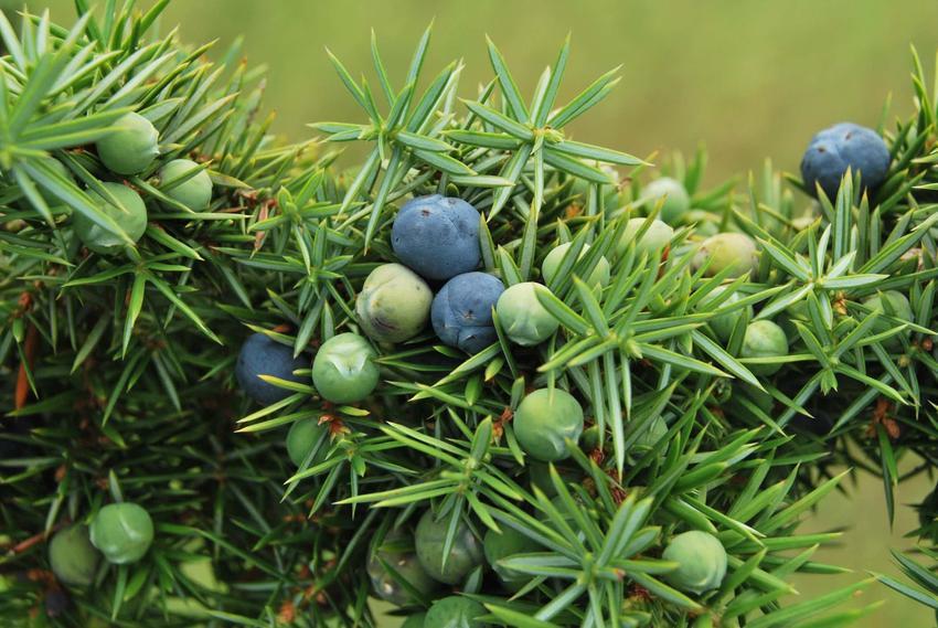 Jałowiec pospolity i zbliżenie na jego igły, a także uprawa, pielęgnacja, sadzenie i porady ogrodnicze