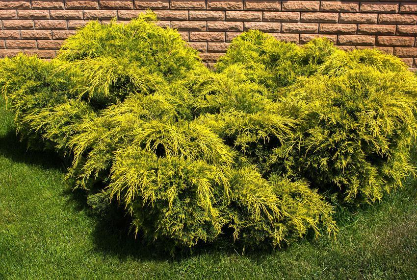 Jałowiec sabiński w ogrodzie, a także zasady jego uprawy, pielęgnacji i porady ogrodnicze