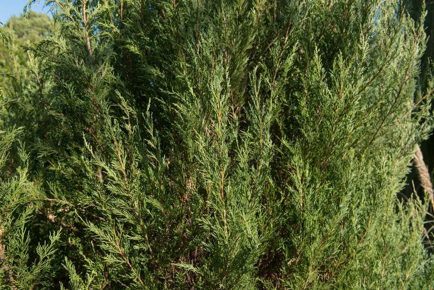 Jałowiec Skyrocket w ogrodzie, a także zasady jego uprawy, pielęgnacji i porady ogrodnicze