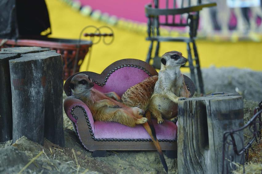 Dwie surykatki siedzą na małej kanapie, odpoczywające surykatki, czy da się oswoić surykatkę, czy kupować surykatkę od osoby prywatnej