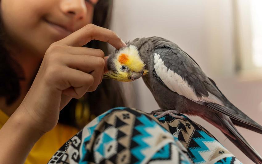 Papuga nimfa siedzi na ramieniu dziewczynki, która drapie ją po główce, papugę nimfę kupić z hodowli, internetu czy sklepu zoologicznego