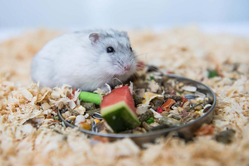 Chomik dżungarski siedzi na ściółce jedząc pokarm dla chomików, czy kupić chomika w sklepie zoologicznym czy u hodowcy
