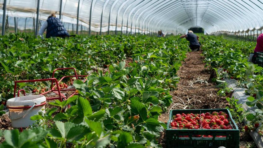 Zbiór owoców w oparcie o umowę o pracę tymczasową lub sezonową, czyli przepisy, prawo pracy i najważniejsze informacje