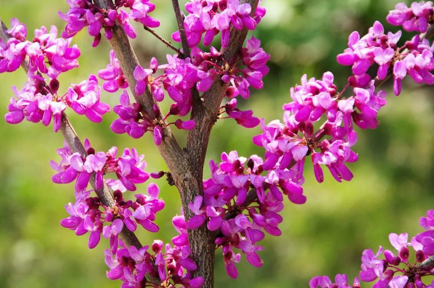 Różowe kwiaty judaszowca południowego, jakie są odmiany judaszowce i które odmiany judaszowca najlepiej uprawiać w ogrodzie, gdzie są szkółki judaszowca połudnniowego