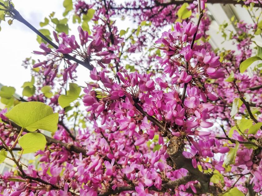 Drobne kwiaty judaszowca wschodniego, sercowaty kształt kwiatów judaszowca wschodniego, jakie podłoże jest najlepsze w ogrodzie dla judaszowca wschodniego