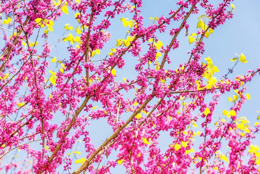 Różowe kwiaty judaszowca chińskiego, które odmiany judaszowca chińskiego można uprawiać w Polsce, gdzie kupić sadzonki judaszowca chińskiego