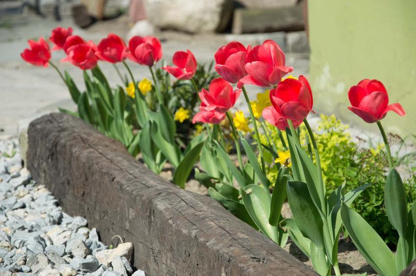 czerwone tulipany w ogrodzie, tulipany przy domu, tulipany w ogrodzie, ile cebulek tulipanów sadzić w jednej rabacie, sadzenie tulipanów w ogrodzie