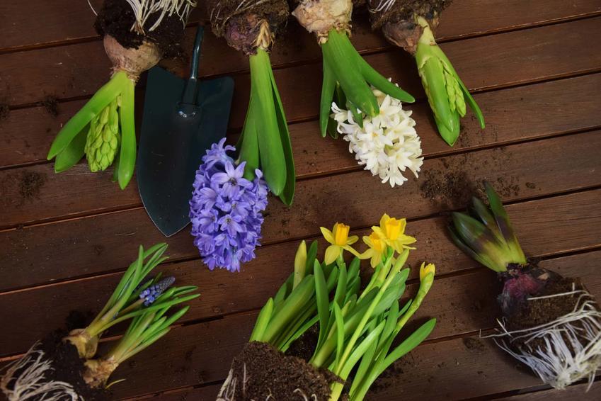Różnokolorowe hiacynty na stole, hiacynty z cebulkami, jak sadzić cebulki hiacyntów, jakie podłoże w ogrodzie jest najlepsze dla hiacyntów