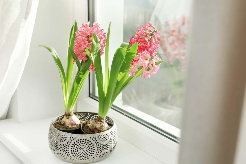 Hiacynt w doniczce, podlewanie hiacynta, jakie warunki musi mieć hiacynt, hiacynty sadzić w domu czy w ogrodzie