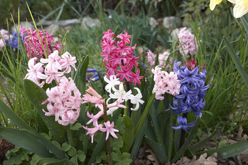 Kolorowe hiacynty wschodnie, kolorowe kwiatostany hiacynta wschodniego, hiacynt wschodni w ogrodzie, czy hiacynt wschodni jest prosty w uprawie