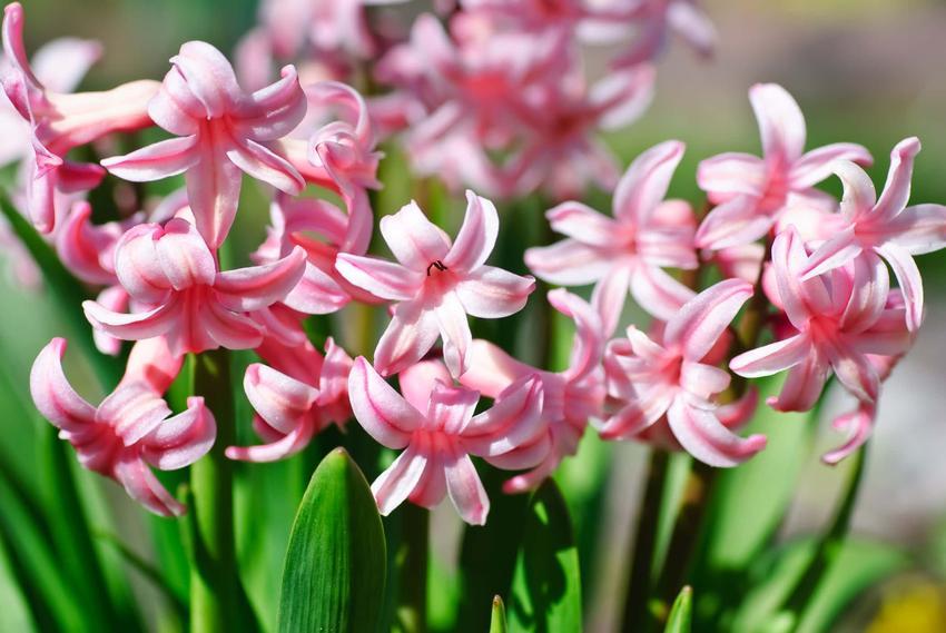 Różowy hiacynt wschodni, kwiaty hiacynta wschodniego, uprawa hiacynta wchodniego w Polsce, kiedy sadzimy cebule hiacynta wschodniego