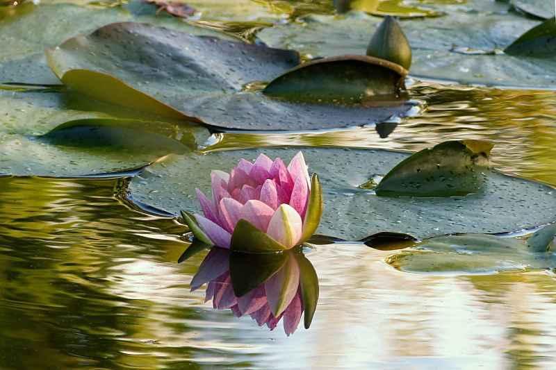 Lilia wodna to popularna roślina na oczku wodnym w ogrodzie, a także oczka wodne - co warto o nich wiedzieć, przygotowanie, wielkość, wybór roślin