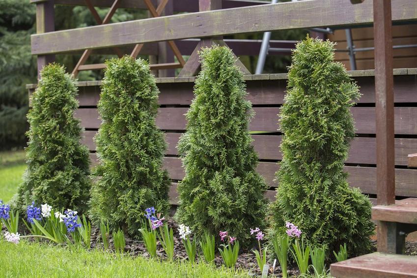 Tuje przy płocie w ogrodzie, a także tuje wkomponowane w przydomowy krajobraz krok po kroku, zastosowanie i sadzenie