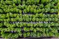 Jak sadzić tuje krok po kroku? Terminy, wybór sadzonek, porady