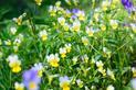 Fiołek polny - zastosowanie lecznicze, porady przy zwalczaniu