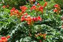 Milin amerykański krok po kroku - sadzenie pnącza, wymagania, pielęgnacja, przycinanie