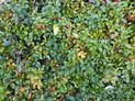 Żywopłot z irgi błyszczącej krok po kroku - sadzenie, pielęgnacja, cięcie, cena