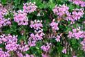 Pelargonia bluszczolistna krok po kroku – odmiany, uprawa, porady