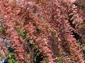 Tamaryszek drobnokwiatowy bez tajemnic – uprawa, pielęgnacja, cena