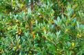 Bukszpan wieczniezielony – odmiany, stanowisko, uprawa, porady praktyczne