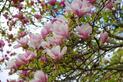 Ceny magnolii krok po kroku - zobacz, ile kosztuje drzewko