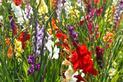 Kwiaty mieczyki - wymagania, odmiany, uprawa, pielęgnacja