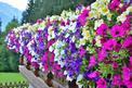 Petunia - wymagania, pielęgnacja, uprawa w domu i ogrodzie, zalecana ziemia