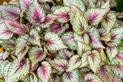 Begonia królewska - zaskakująca roślina doniczkowa - uprawa, pielęgnacja, porady