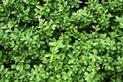 Ligustr w ogrodzie - wymagania, popularne odmiany, cięcie, pielęgnacja