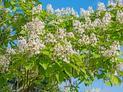 Katalpa inaczej surmia - opis i uprawa pięknego drzewa ozdobnego