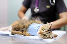 Jaka jest cena sterylizacji kotki lub kastracji kota 2021? Sprawdzamy ceny w całej Polsce
