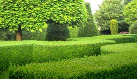 Jak sadzić żywopłot z bukszpanu – gatunki, sadzenie, rozstawa, porady