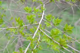 Żywopłot z wiązu syberyjskiego – wybór sadzonek, ceny, opinie, pielęgnacja