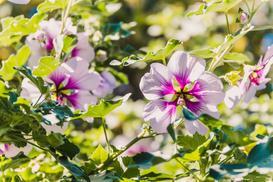 Kwiat hibiskus (ketmia syryjska) – odmiany, uprawa, pielęgnacja, kwitnienie