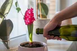 Co ile podlewać hiacynta ogrodowego i jak go pielęgnować?