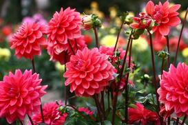 Kwiat dalia ogrodowa - stanowisko, odmiany, uprawa, kwitnienie