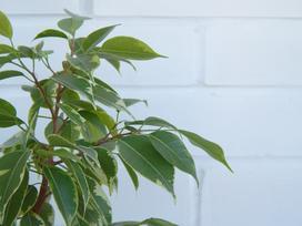 Figowiec benjamina (ficus benjamin) - uprawa, pielęgnacja, porady