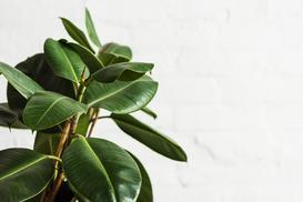 Figowiec sprężysty - odmiany, uprawa, pielęgnacja, rozmnażanie