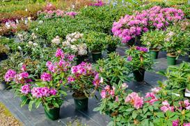 Jak i kiedy sadzić rododendrony? Uprawa, terminy, porady