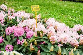 Jakie są ceny rododendronów? Zobacz ceny sadzonek i większych krzewów