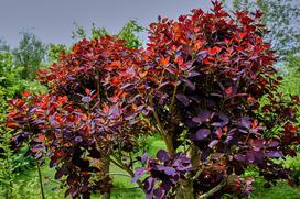 Perukowiec podolski - odmiany, uprawa, pielęgnacja, wymagania